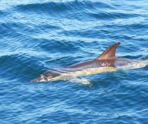 Dolfijnen-azoren-walvissen
