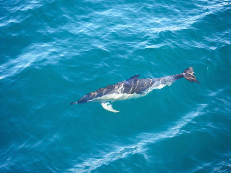 Dolfijnen-azoren-walvissen-spotten-sao-miguel