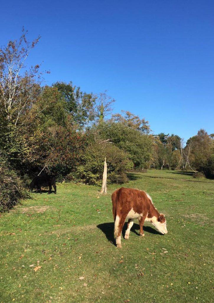 Dorset bezienswaardigheden koeien