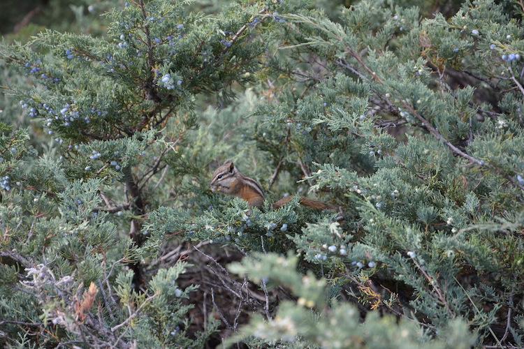 Eekhoorn West Canada rondreis