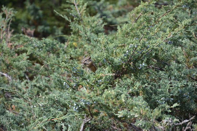 Eekhoorn west-canada