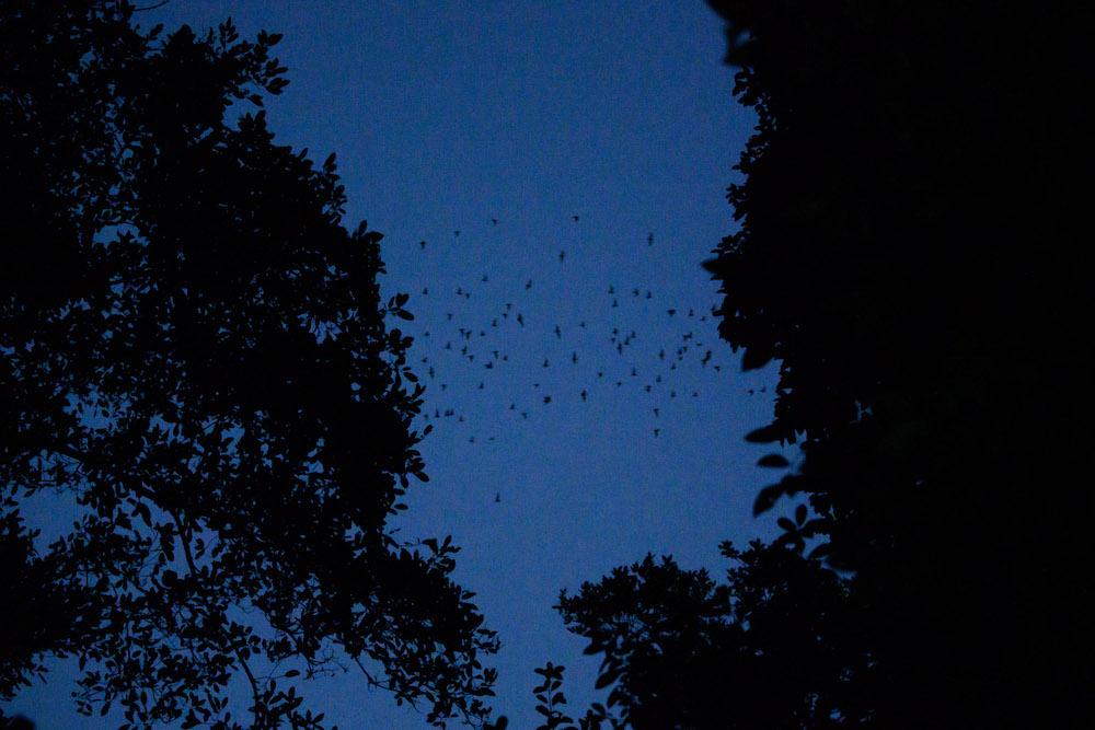 El Zotz vleermuizen