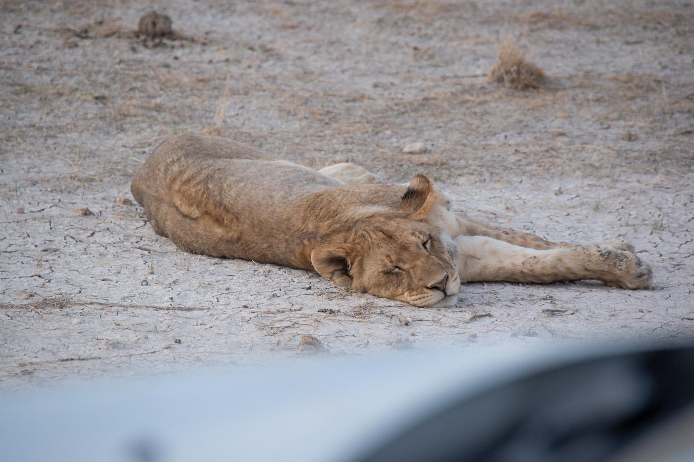 Etosha Namibie leeuw safari