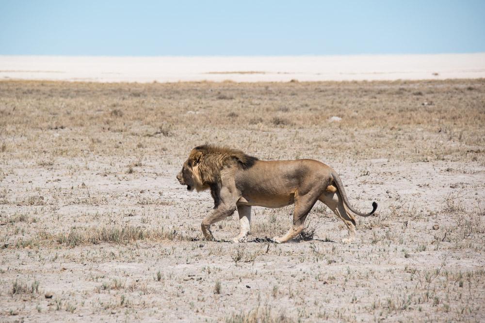 Etosha Namibie leeuw vlakte