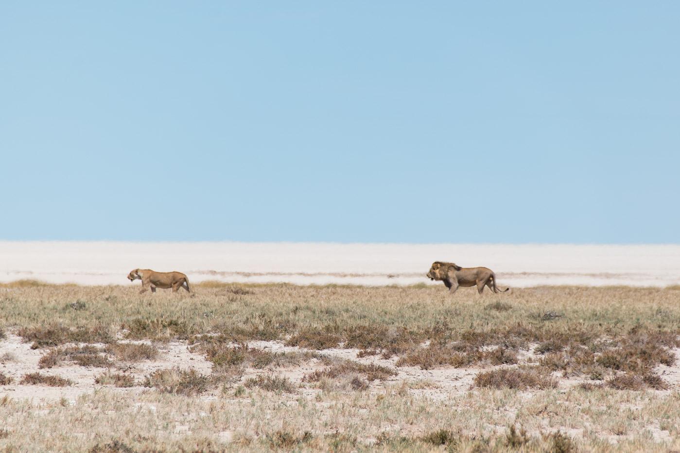Etosha Namibie leeuwen stel
