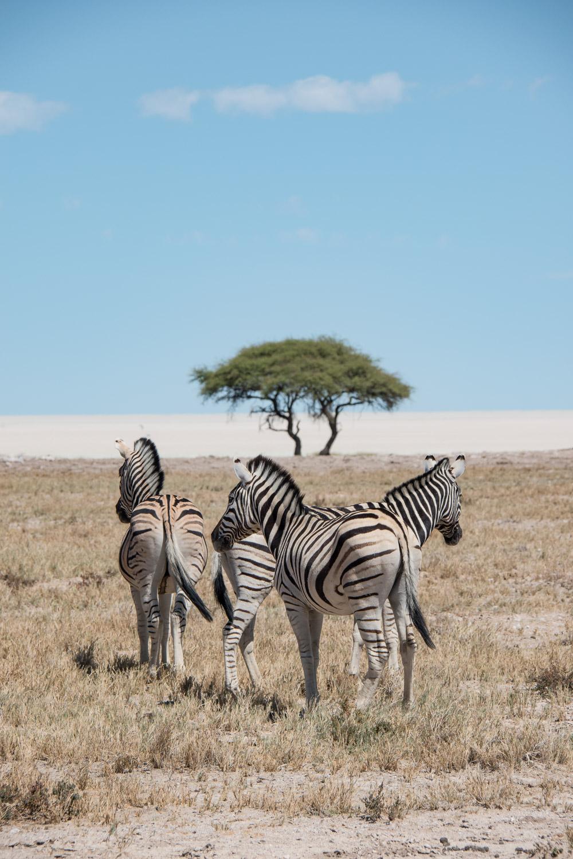 Etosha Namibie zebra_