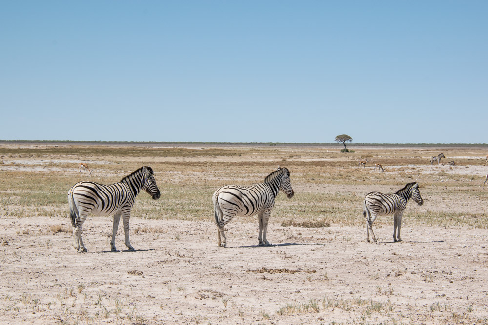 Etosha Namibie zebra's