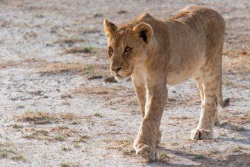 Etosha National Park Namibie leeuw safari