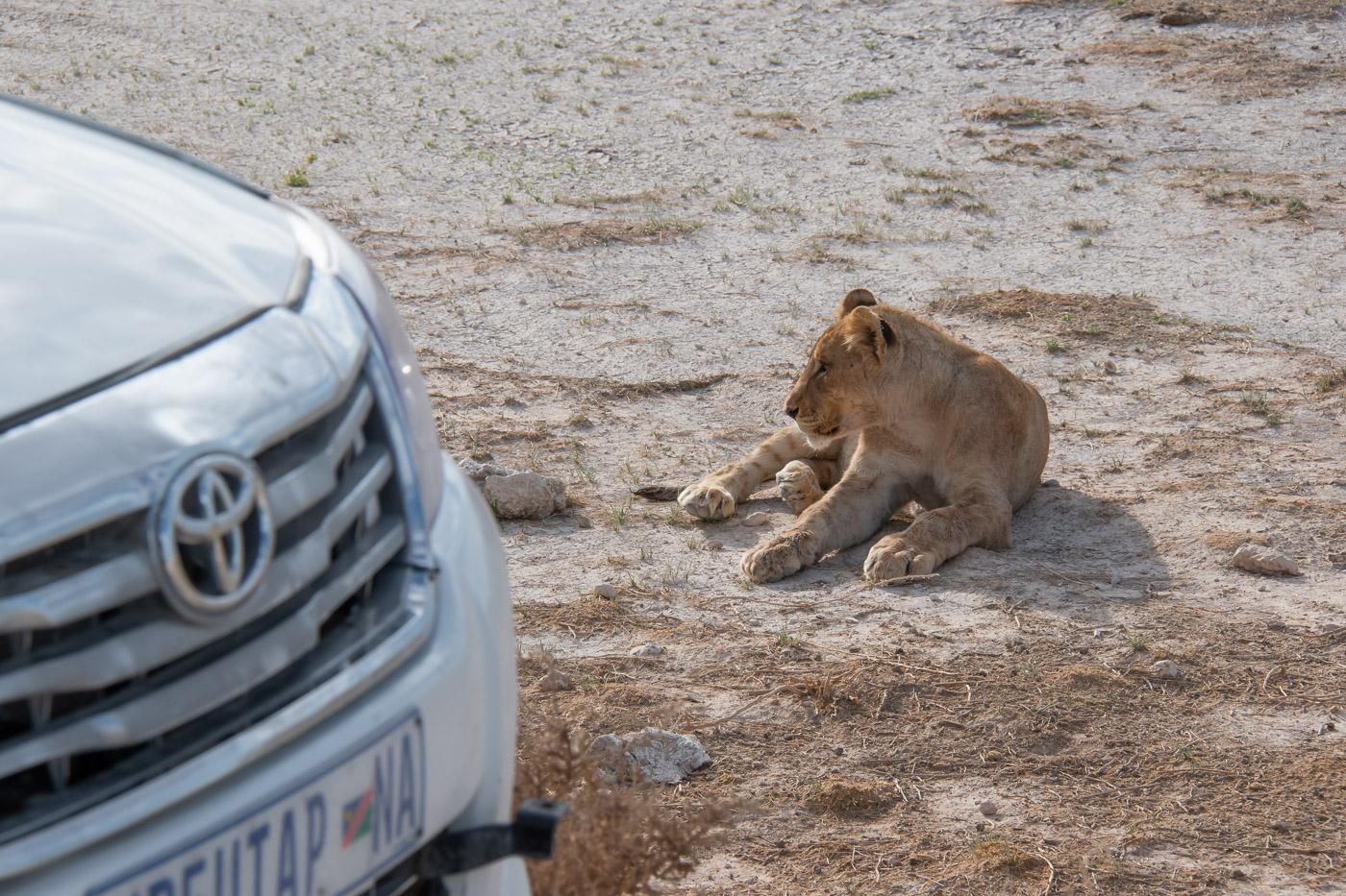 Etosha National Park leeuw spotten