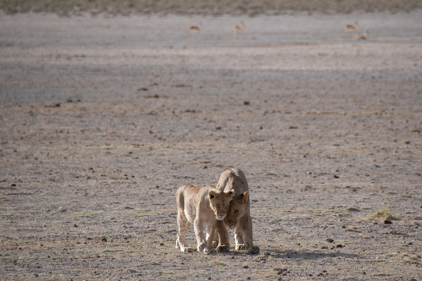 Etosha National Park Namibie leeuw
