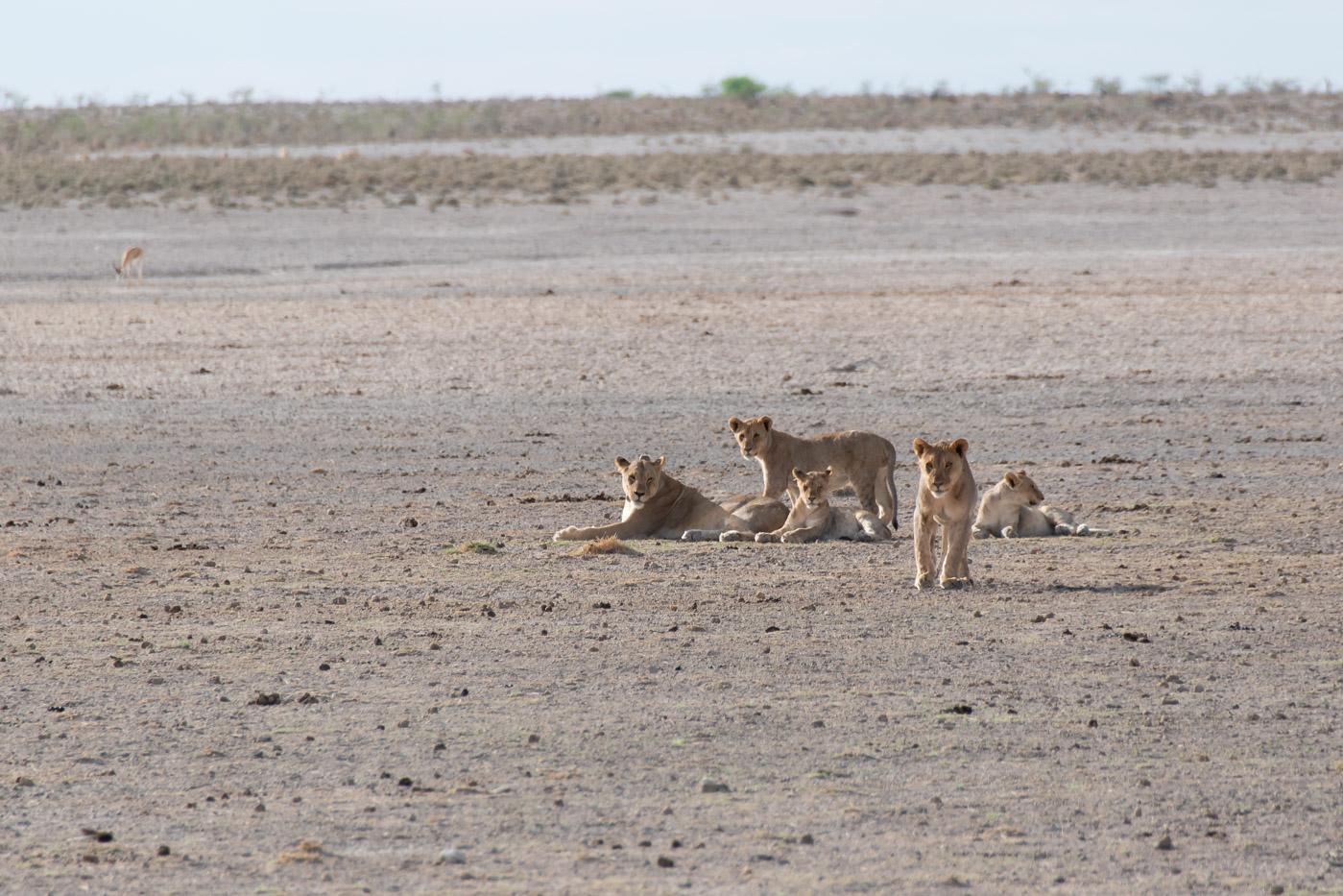 Etosha National Park Namibie leeuwen