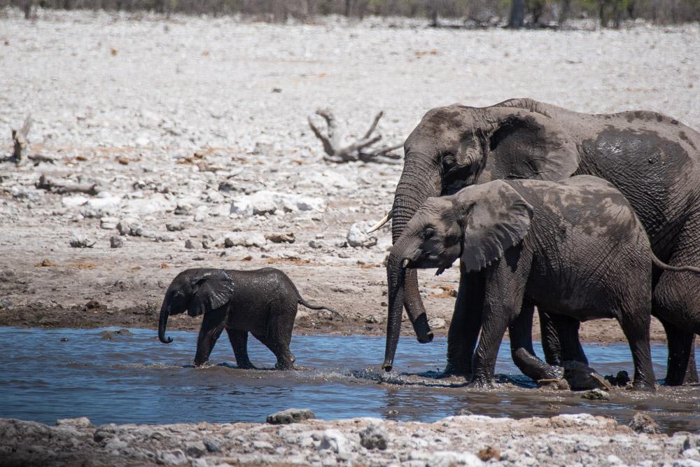 Etosha National Park Namibie olifant