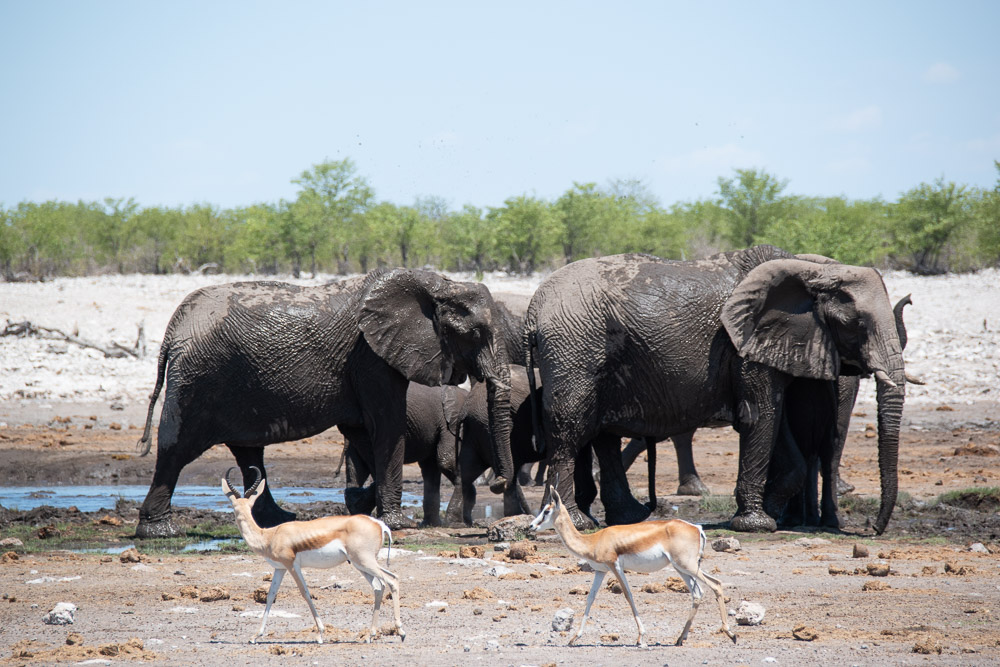 Etosha National Park Namibie olifanten dieren