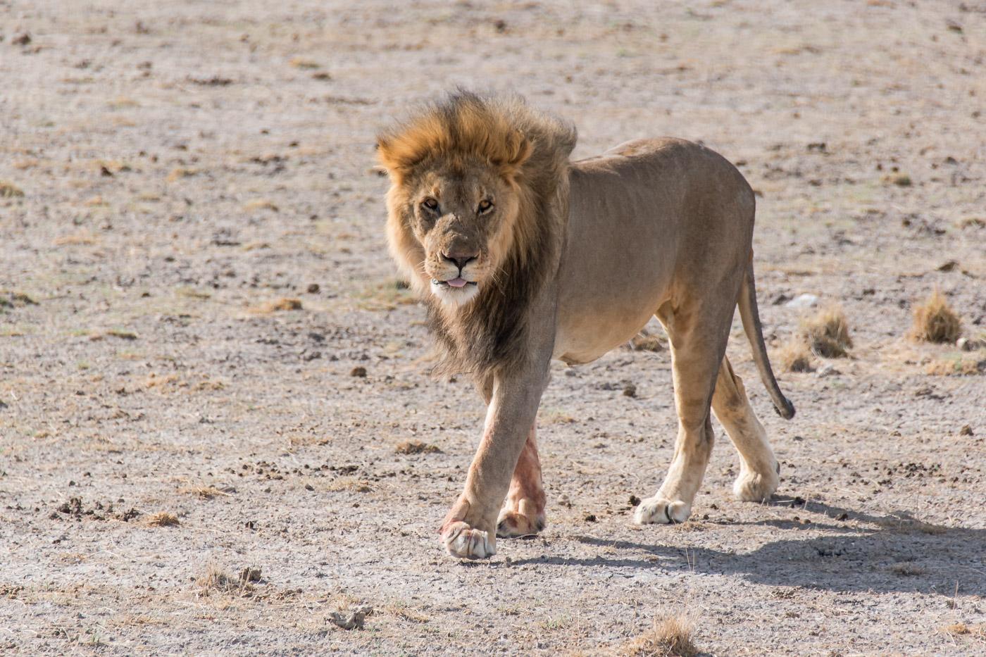 Etosha national park Namibie mannetjes leeuw