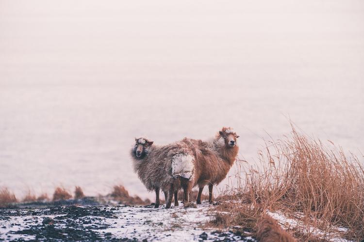 Faroer Eilanden vakantie schapen