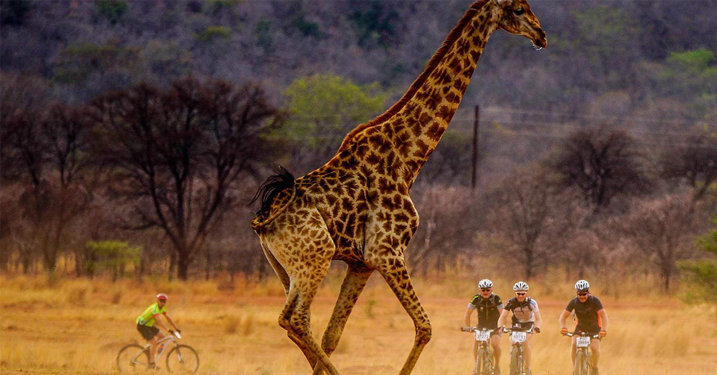 fietsers-en-giraffe