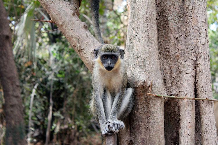 Gambia bezienswaardigheden Monkey Park