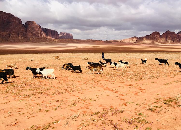 Geiten in Wadi Rum Jordanie
