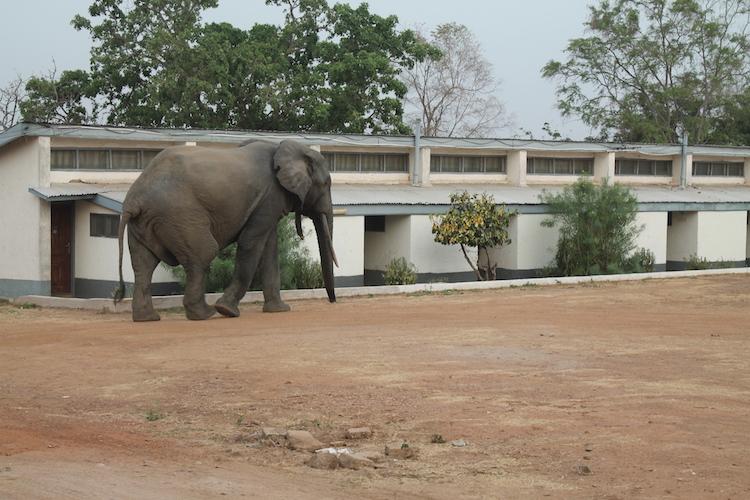 Ghana rondreis olifant bij je hotel mole