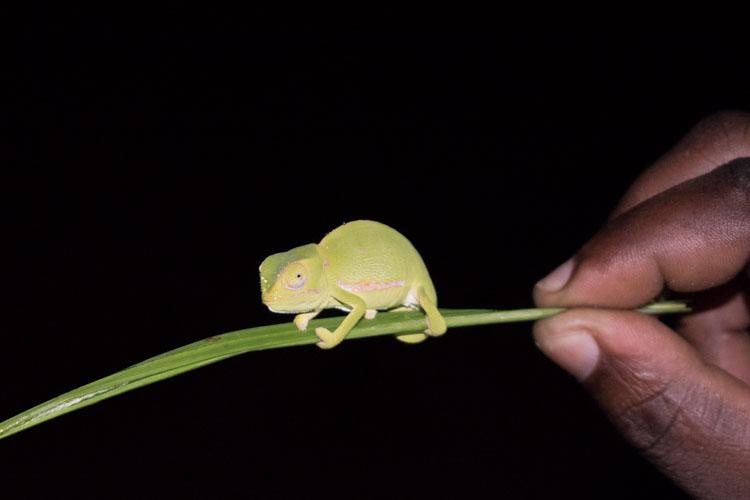 Hluhluwe zuid afrika kameleon mini