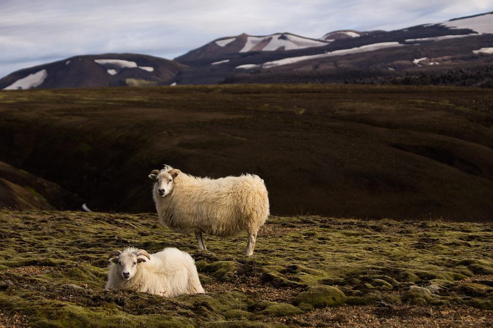 ijsland foto's schapen