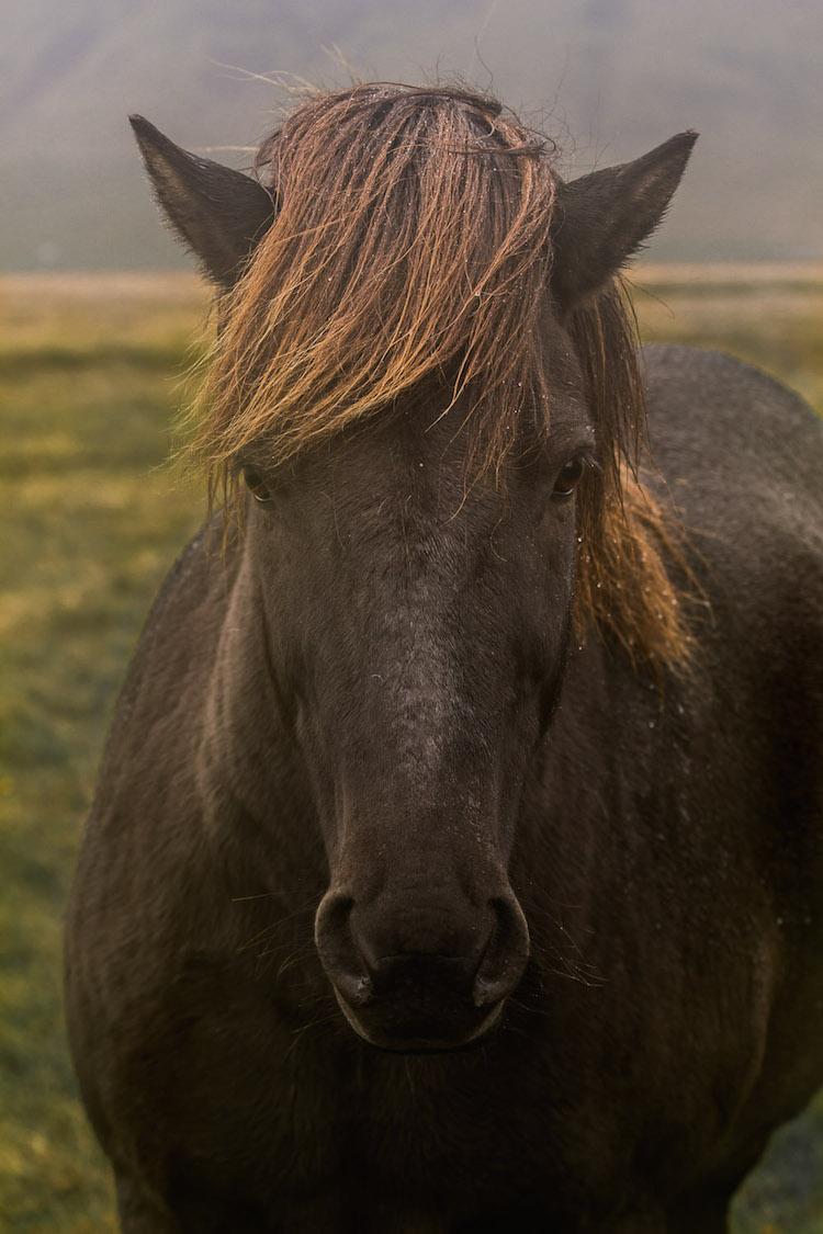 ijsland foto's paard