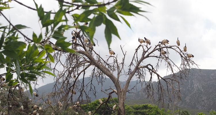 Montagu ibis
