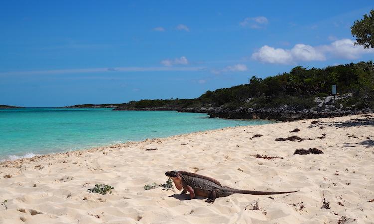 Iguana The Exumas bahamas