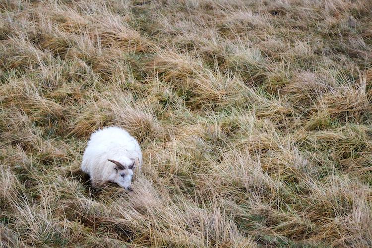 Ijsland schapen