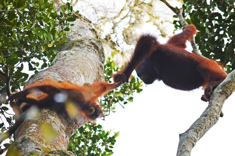 Indonesie Borneo jungle orang oetang