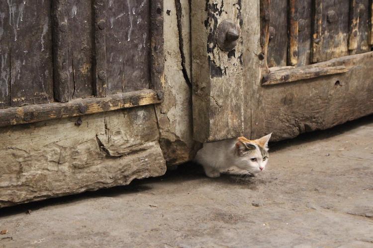 iran-kitten-yazd