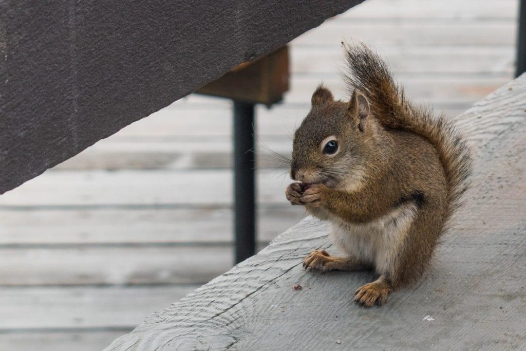 Jasper National Park eekhoorn canada