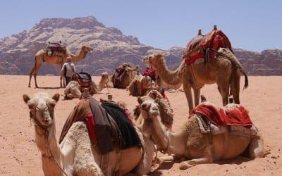 Jordanie veilig kamelen