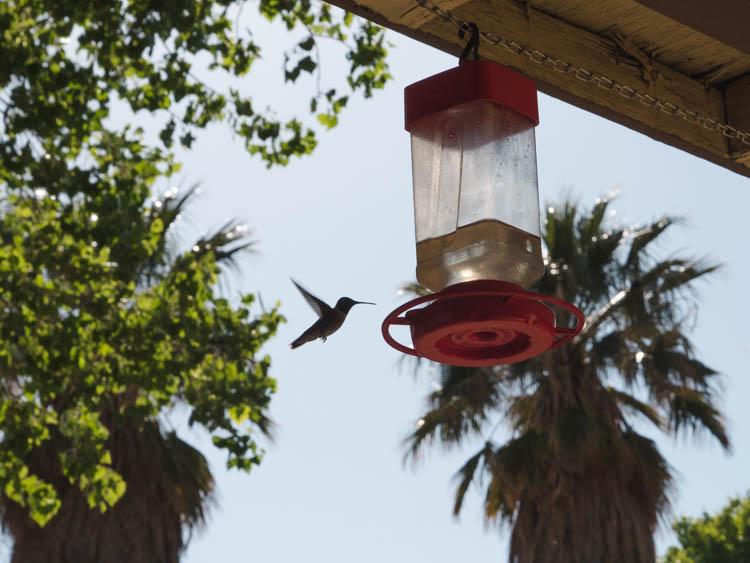 Joshua Tree National Park kolibrie