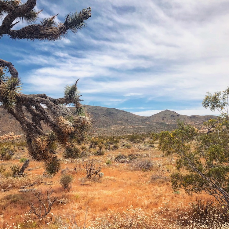 Joshua tree nationale parken amerika tips