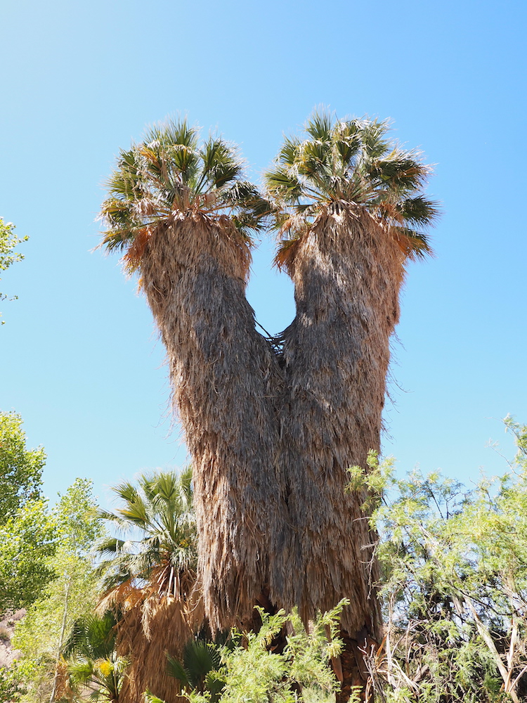 Joshua Tree Np Oase Bomen We Are Travellers