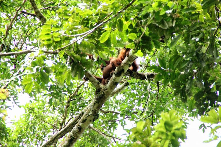 Jungle Sumatra Batu Katak orang oetang