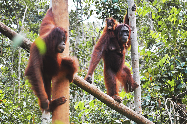 Jungle orang oetans
