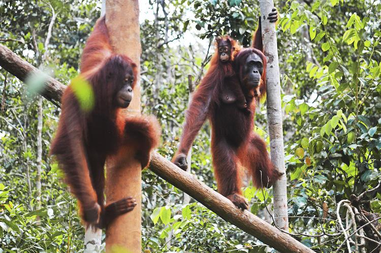 Jungle orang oetans