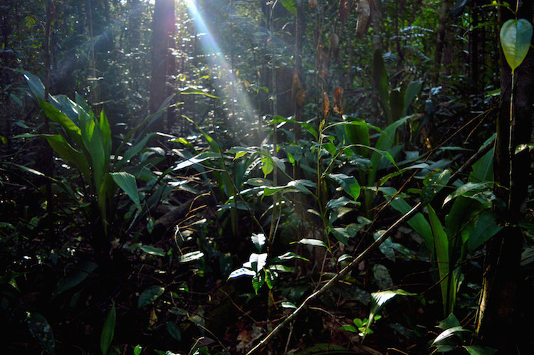 Jungle_borneo_planten