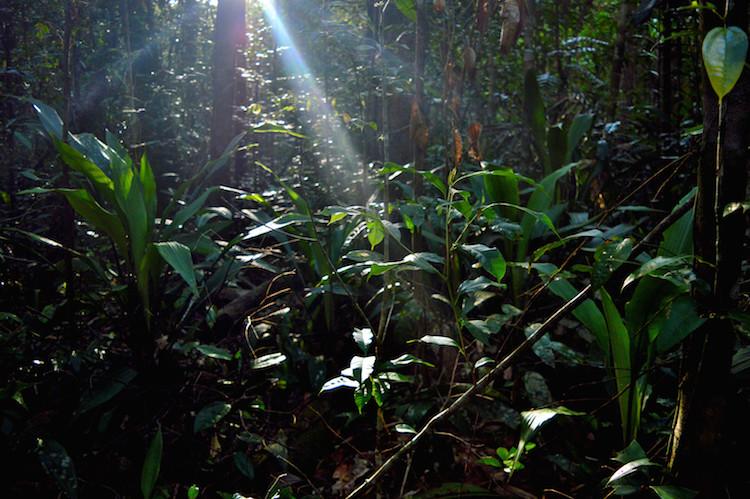 Jungle_borneo_planten