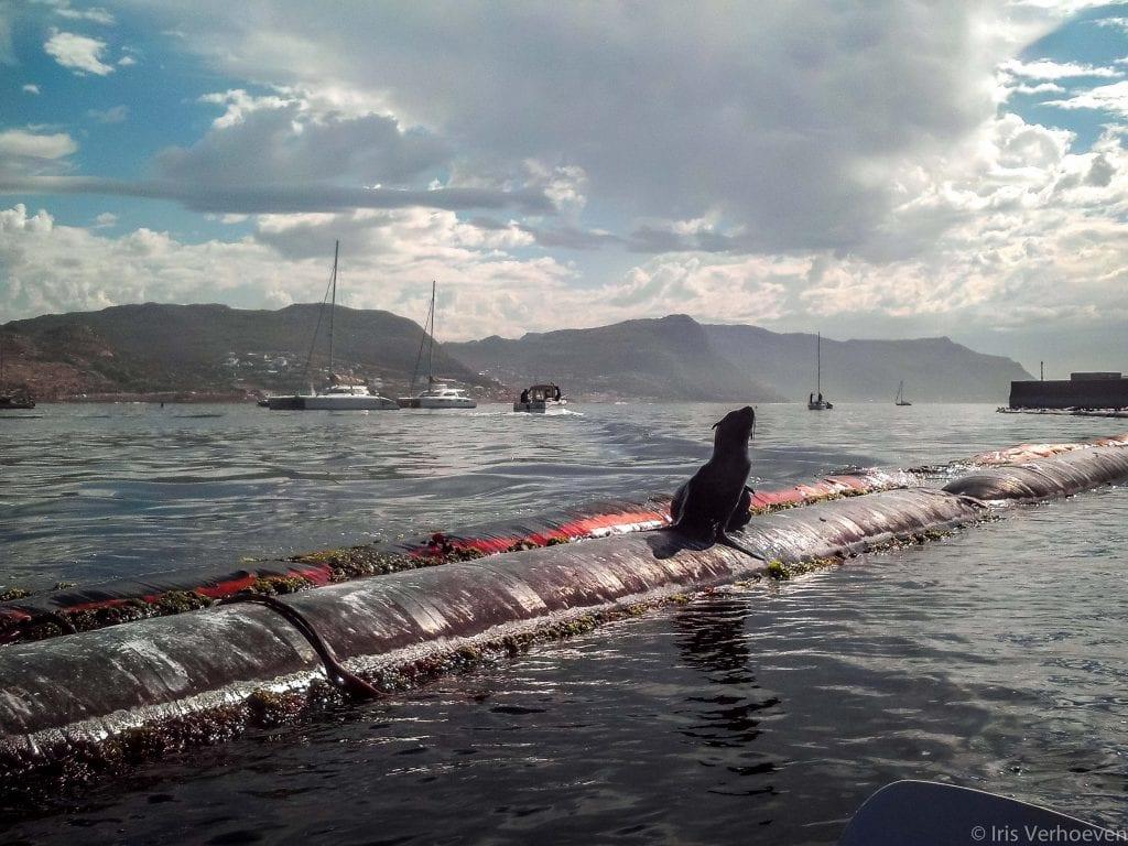 Kaapstad zeeleeuw