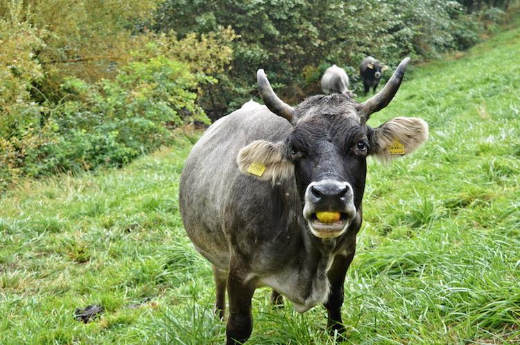kastanjeroute-zuid-tirol-koeien