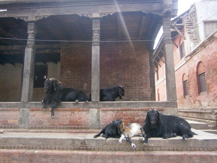 Kathmandu-dieren-nepal