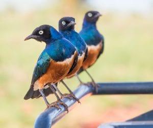 Kenia-salt-lick-lodge-vogels
