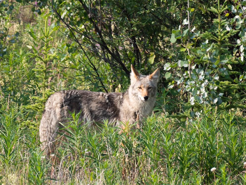 Kluane National Park dieren yukon