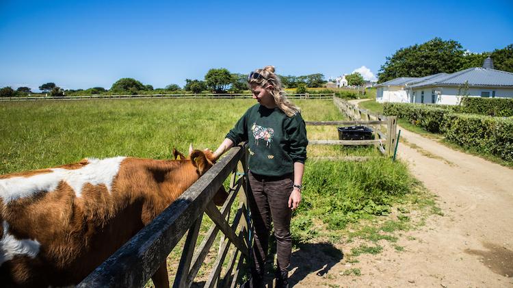 Koe op Sark kanaaleiland