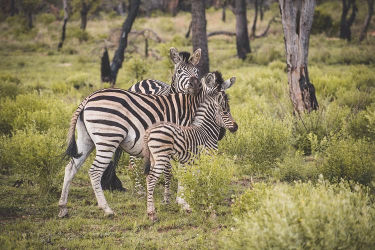 Kololo Game Reserve safari zebra familie