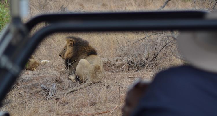 Krugerpark Leeuwen game drive