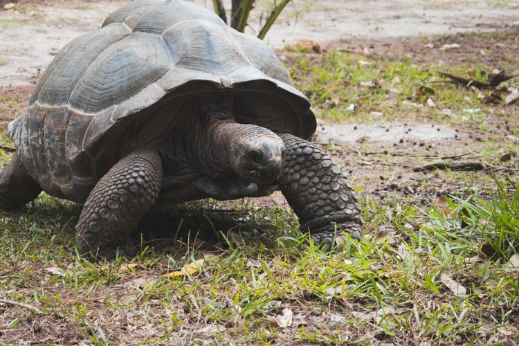 La Digue schildpad